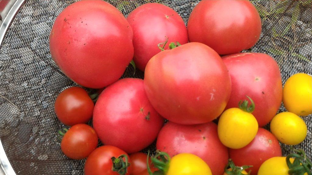 赤トマトと黄トマトの収穫