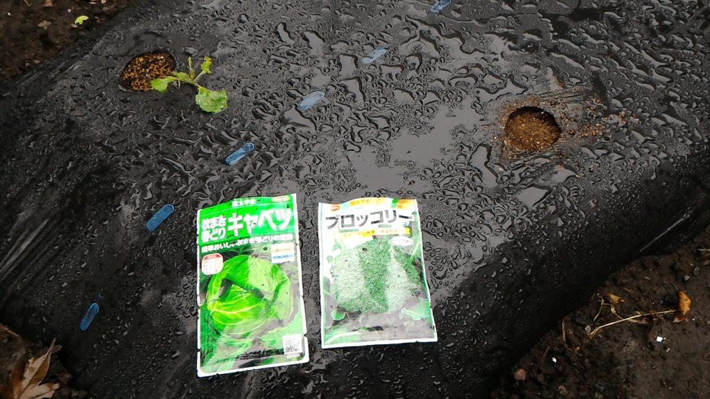 「秋まき春どりキャベツ」の種まき①(10月2日)