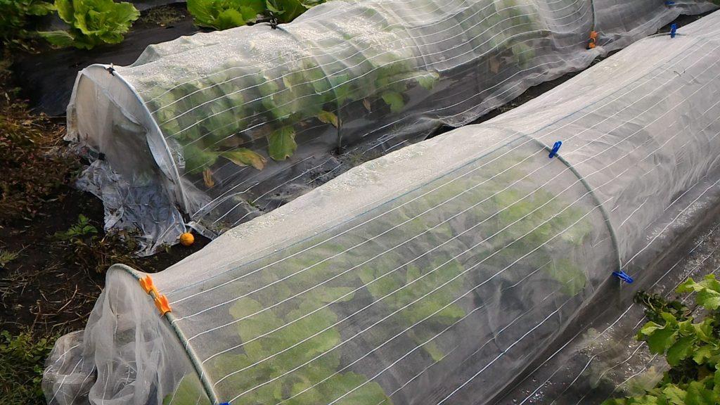 防虫ネットの中で育った白菜