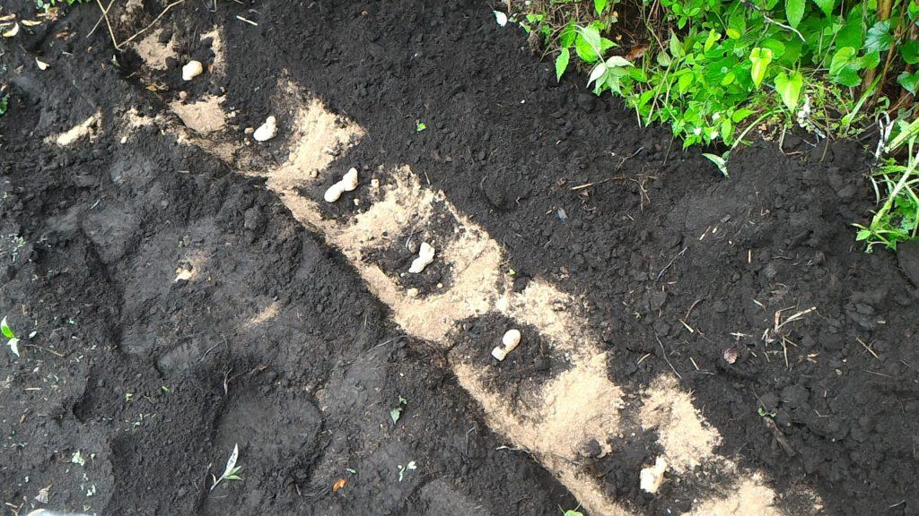 種しょうがの植え付けと肥料(5月14日)