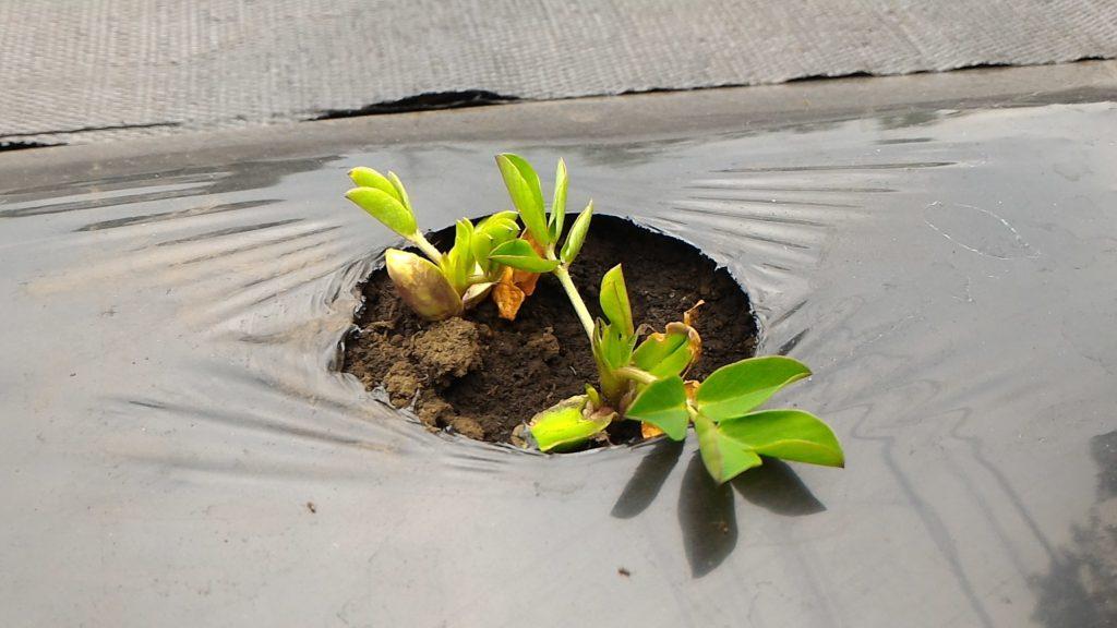 落花生の種の発芽②(5月24日)