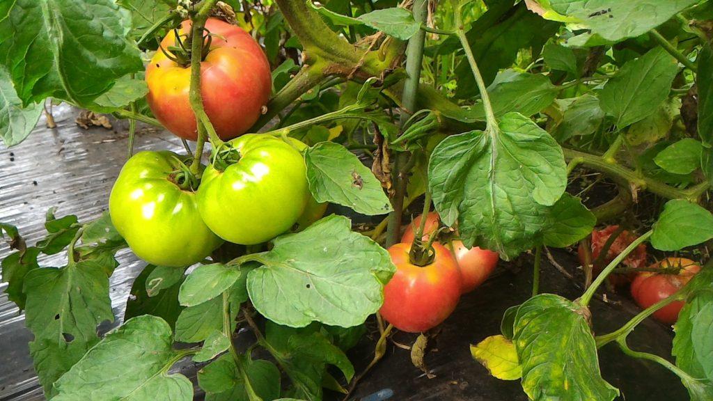 水分不足のトマトの実(7月28日)