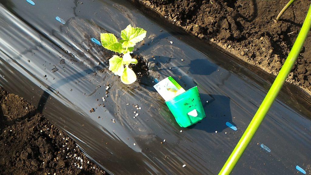 プリンスメロンの苗の植え付け④(4月22日)
