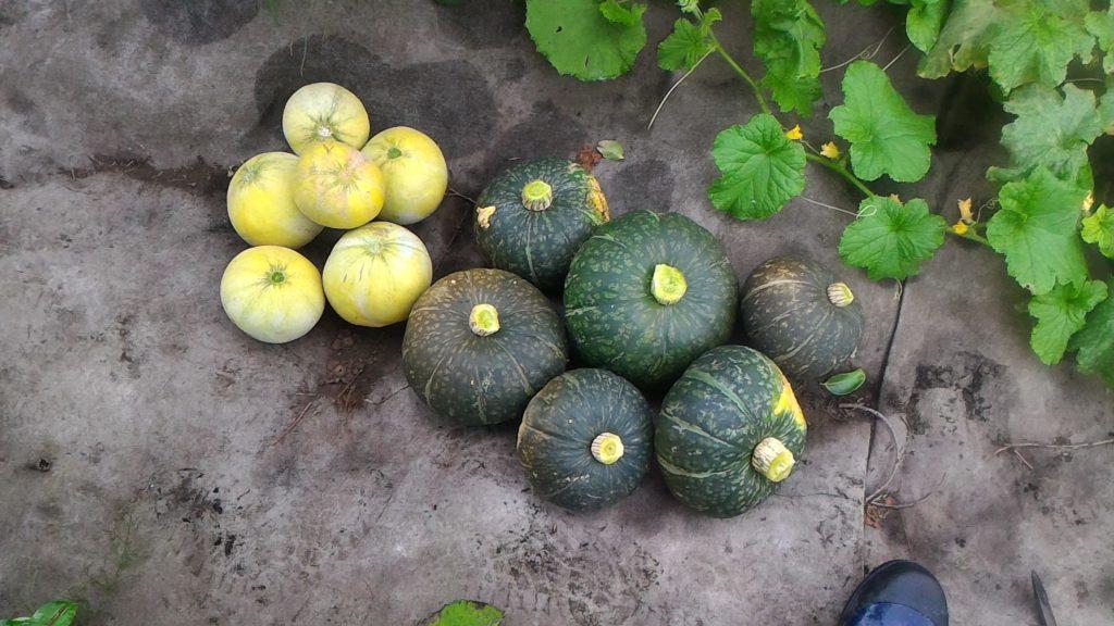 かぼちゃとプリンスメロンの収穫①(7月4日)