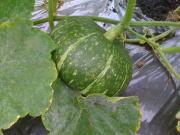 収穫間近のかぼちゃ