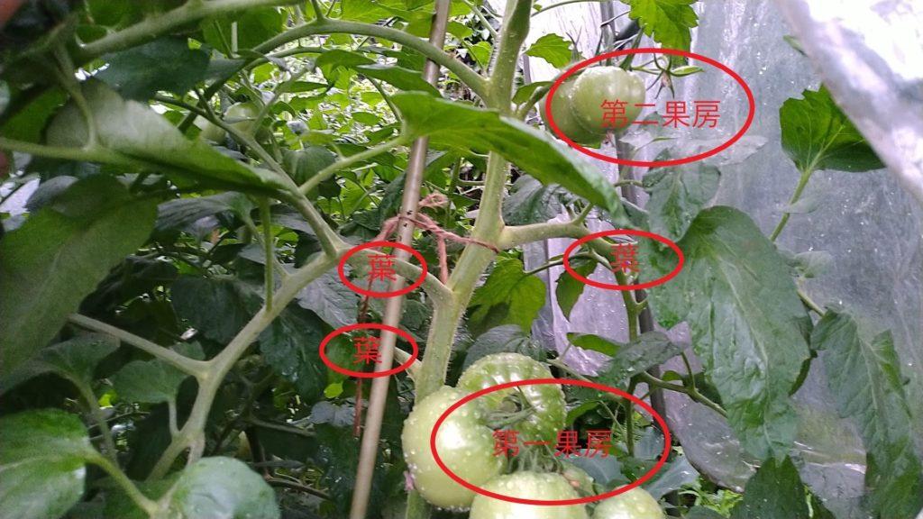 トマトは同じ向きに花が咲く